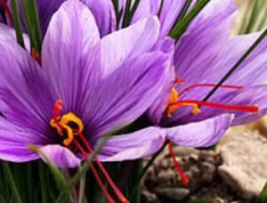 Crocus salivus, saffron flower