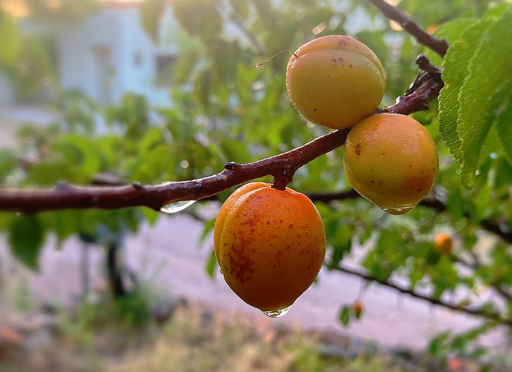 Three brightly colored apricots on a branch dripping with water after a shower.