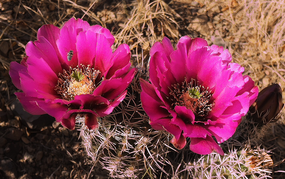 Two bright pinkflower hedgehog cactus blossoms with a bee and a bud in late afternoon sunlight.