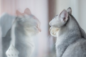A cat looking at it's reflection