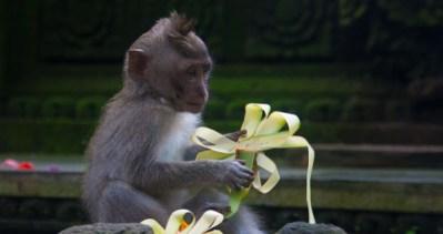 Bali Ubud monkey