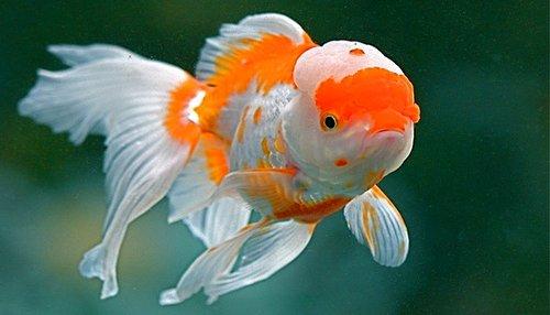 The Fancy Goldfish Principle