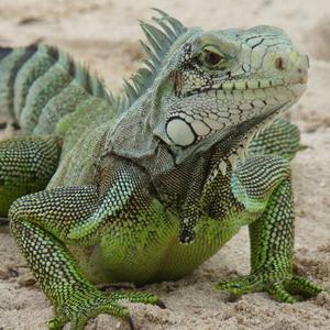 L\'Iguane