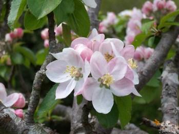 Le Clos de la Risle : fleurs de pommier