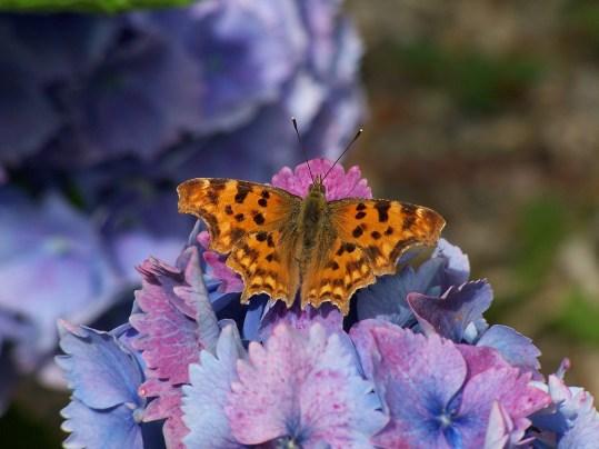 Le Clos de la Risle : arbre à papillons