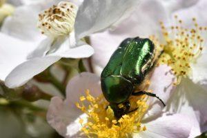 escarabajo comun