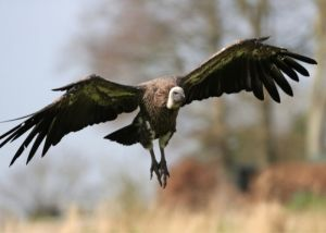 Nearly 100 vultures found dead or dying in Salamanca