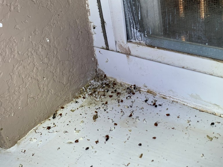 carpenter ant frass at window stool in WDI Inspection
