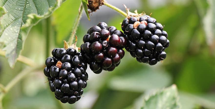 blackberries bramble berries bush nature vitamins fruits fruit healthy