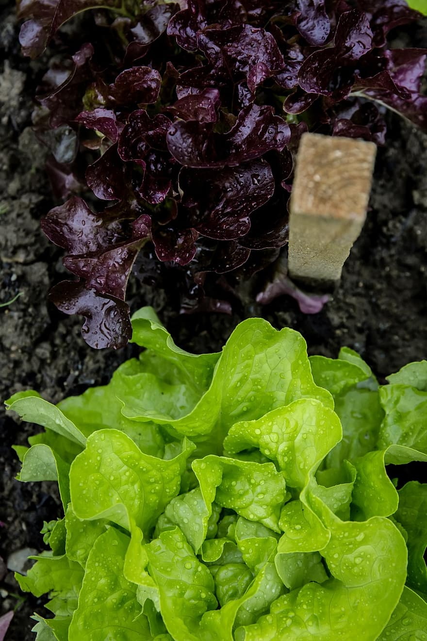salad head garden self catering cultivation breeding rearing vegetables bed