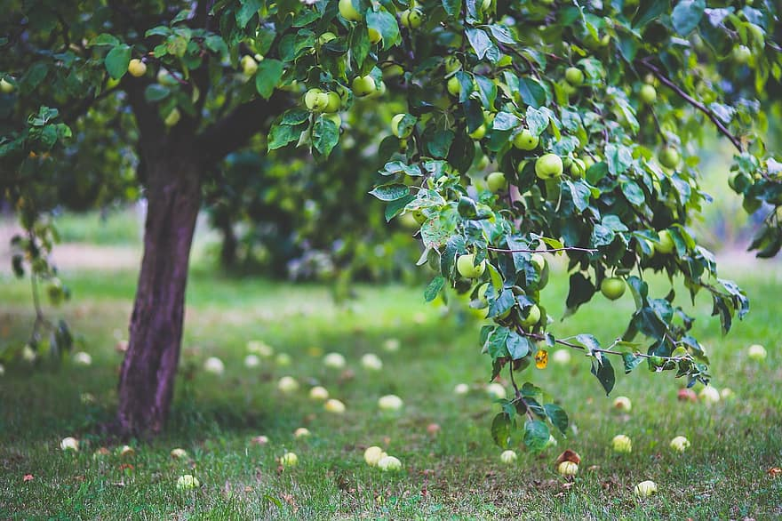 apple tree apples young little on the tree green garden fruit