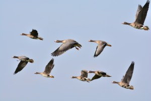wild-geese-278987_1280