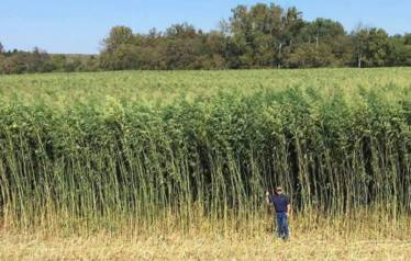 Kentucky Hemp Field Farm Bill 2018