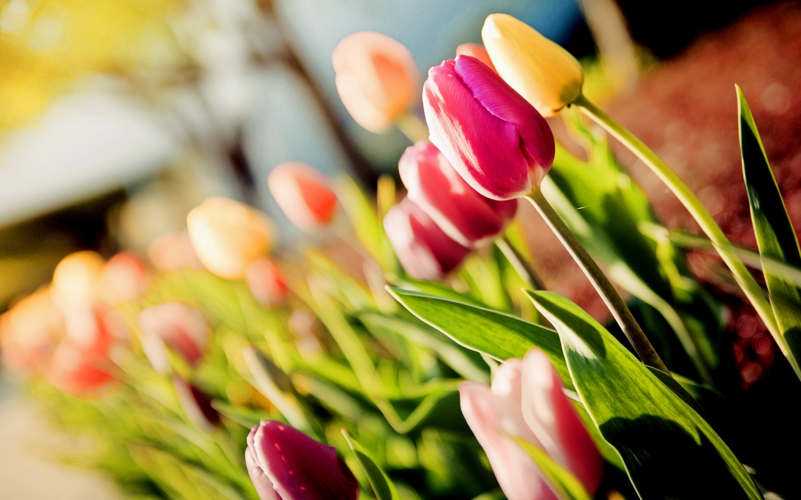 10 Tulips Flower Wallpaper For Your Desktop Background