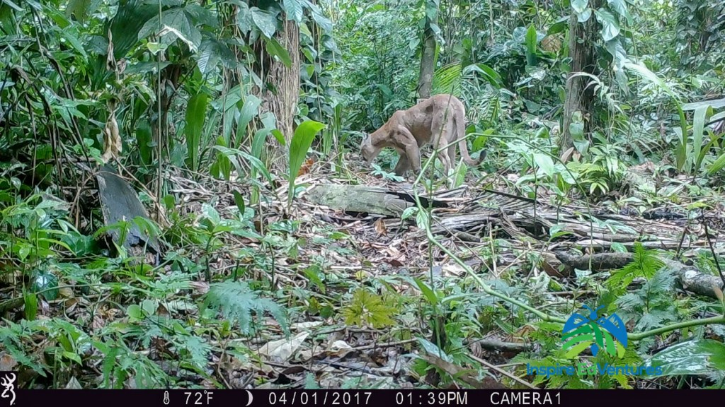Cougar caught on trail cam