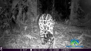 Jaguar caught on trail camera 2018