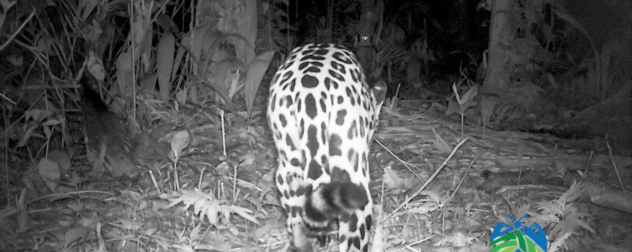 Identifying Jaguars By Their Spots