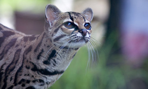 The Tree-Dwelling Margays of Belize
