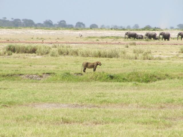 amboseli-kenya-safari-lions-7-hannaburlaka.blogspot.com
