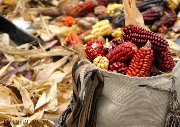 red corn harvest