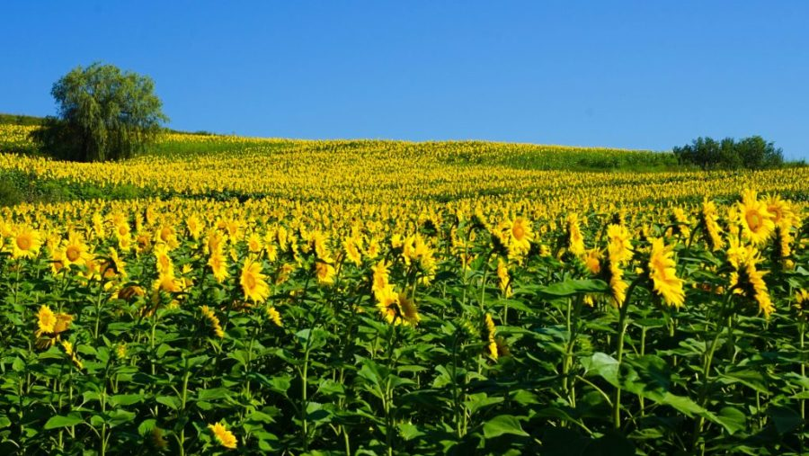 Romania Places To Visit - Romanian Sunflowers