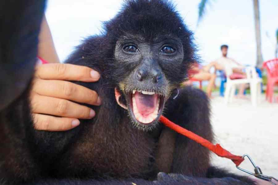 San Blas Adventures Review spider monkey