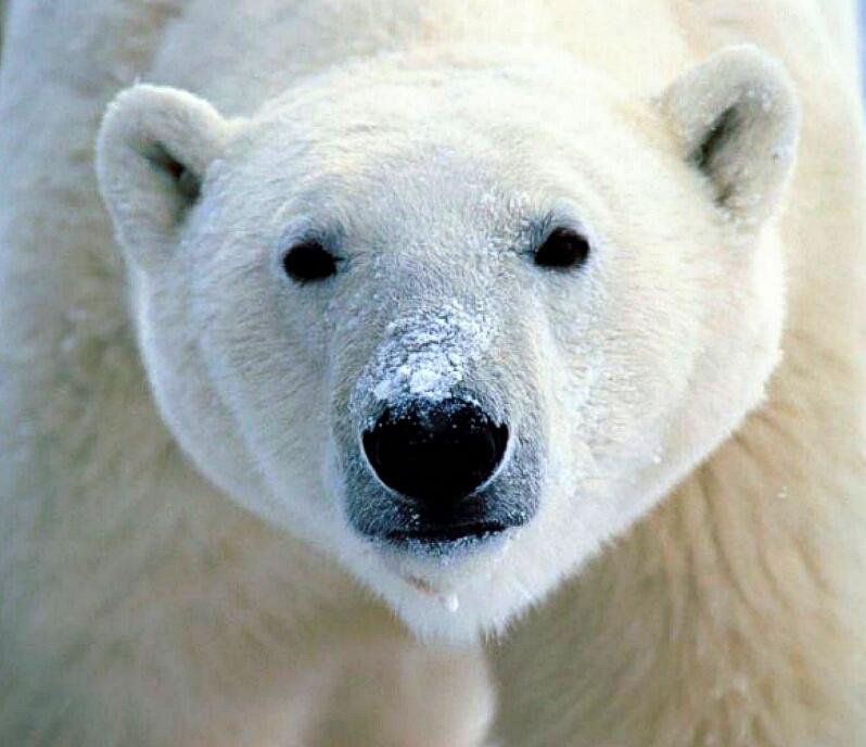 greenpeace polarbear800