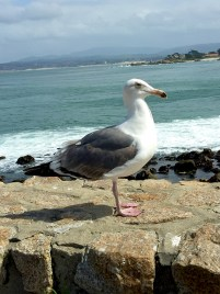 Lovers Point Seagull