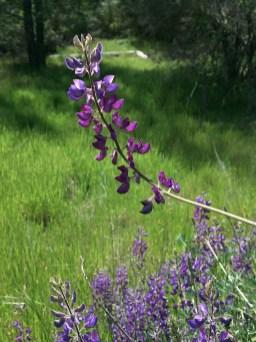 Spring Wildflowers at Pinnacles
