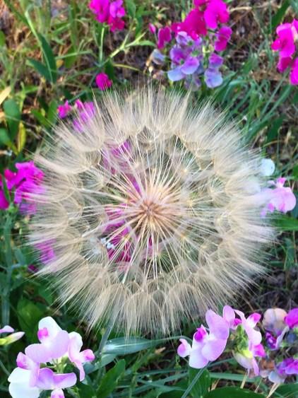 Dandelion Nature Hike