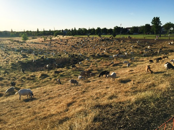 Rocklin Uses Goats and Managed Grazing