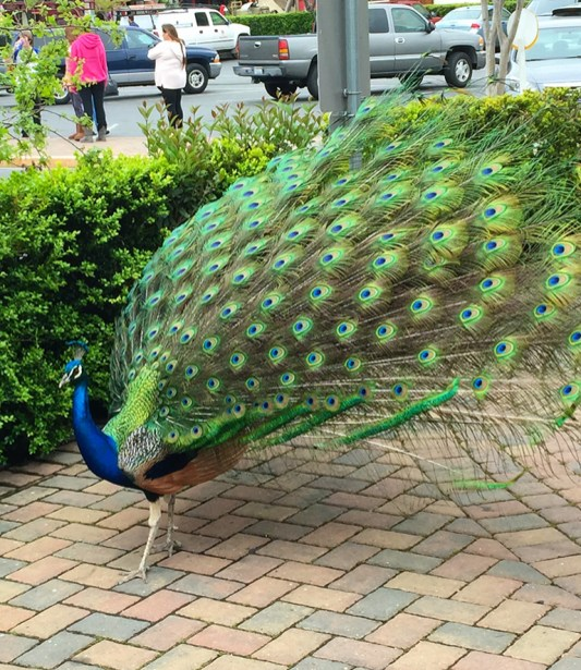Peacocks and Pehens run wild at Casa de Fruta
