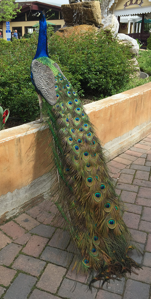 Peacocks and Pehens at Casa de Fruta in Hollister
