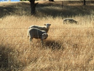 Sheep City Of Rocklin Managed Grazing