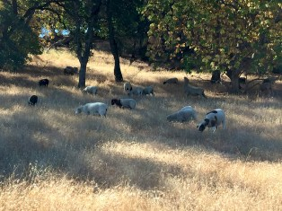 Sheep Used For Managed Vegetation Control in Rocklin California