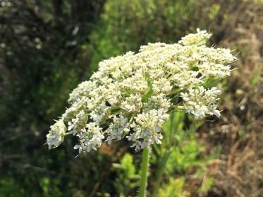 Wildflowers Near Auburn California
