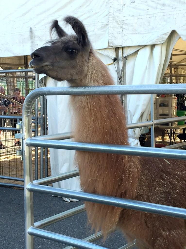 Ringling Bros Circus Lamas