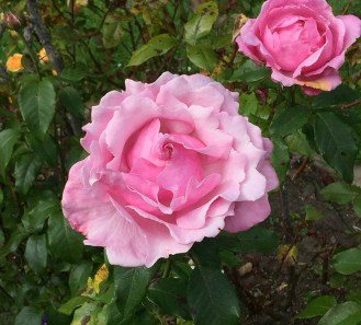 Pink Roses in San Francisco
