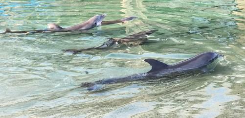 Dolphins At Hilton Waikoloa Village