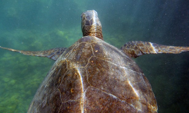 Snorkeling With Green Sea Turtles