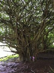 Ancient Banyan Tree at Rainbow Falls