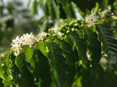 Kona Coffee Trees and Coffee Tours