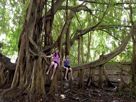 Largest Banyan Tree in Hawaii