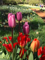 Pink and Red Tulips at Daffodil Hill