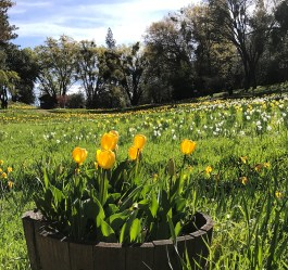 Yellow Tulips and Daffodils in Volcano, California