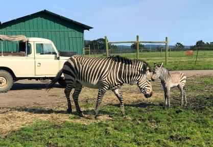 B Bryan Preserve Baby Hartmann's Mountain Zebra