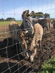 Grevy's Zebra at B Bryan Preserve