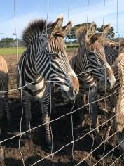 Grevy's Zebra at B Bryan Preserve Near Fort Bragg