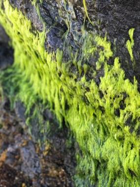 Lime Green Sea Moss