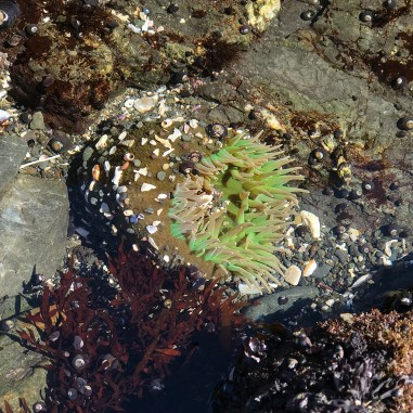 Find Sea Anenomes While Tide pooling at MacKerricher State Park